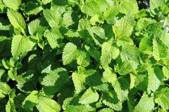Sweet mint background Stock Photography
