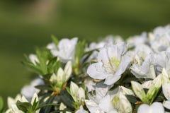 Sweet Mock-orange or English Dogwood -Philadelphus coronarius- Flowers with Four Petals.  Stock Image