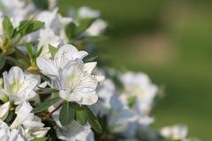 Sweet Mock-orange or English Dogwood -Philadelphus coronarius- Flowers with Four Petals.  Royalty Free Stock Photo