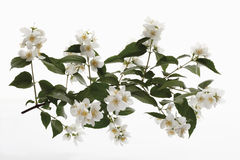 Sweet Mock-orange (Philadelphus coronarius) blossoms Royalty Free Stock Image