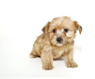 Sweet Morkie Puppy Royalty Free Stock Photo