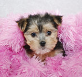 Sweet Morkie Puppy Royalty Free Stock Images