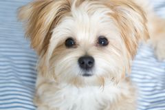Sweet Morkie Puppy looking directly at the camera. Designer dog breed stock photography