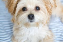 Sweet Morkie Puppy looking directly at the camera. royalty free stock photo