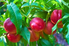 Nectarine on tree. Sweet nectarine on tree in closeup royalty free stock image