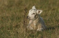 A cute newborn lamb lying down on the grass in a meadow. A sweet newborn lamb lying down on the grass in a meadow stock photography