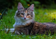 Norwegian forest cat kitten on a summerday. Sweet Norwegian forest cat kitten is lying around on lawn on a summerday stock photography
