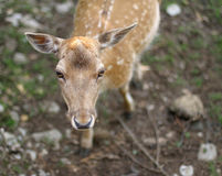 Sweet nose of a young fawn Royalty Free Stock Photo
