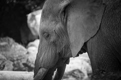 Elephant alone standing in black and white at the zoo in close up. Sweet and nostalgic atmosphere for this extraordinary animal in black and white stock photo