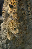 Sweet Nothings. A male leopard whispers sweet nothings into his partner's ear as they mate Stock Images