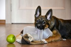 Sweet obedient dog gnaws its bowl and looks.  Royalty Free Stock Photo
