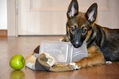 Sweet obedient dog gnaws its bowl and looks.  Stock Photos