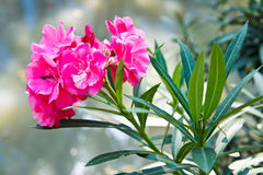 Sweet Oleander Royalty Free Stock Images