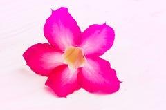 Sweet oleander flower Stock Images