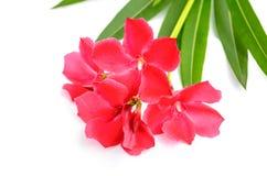Sweet oleander, Rose bay, Oleander Royalty Free Stock Photos