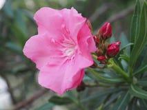 sweet oleander pink flower Stock Image
