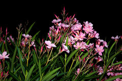 Sweet oleander Stock Photo