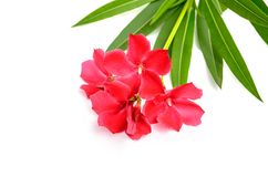 Sweet oleander, Rose bay, Oleander Stock Photos