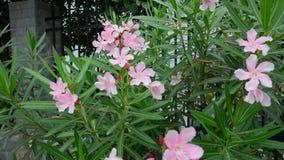 Sweet Oleander trees and flowers. Sweet Oleander, Rose bay. (Nerium oleander L.) plants with medicinal properties stock video