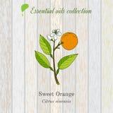 Sweet orange, essential oil label, aromatic plant Stock Photo