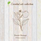 Sweet orange, essential oil label, aromatic plant Stock Photography