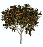 Sweet orange tree - 3D render Stock Image