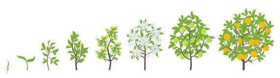 Sweet oranges tree growth stages. Vector illustration. Ripening period progression. Orange fruit tree life cycle animation plant. Lemon tree growth stages stock illustration