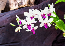 Sweet Orchid flower color at the garden. With stone background Stock Photos