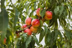 Sweet organic nectarines on tree in big garden stock images