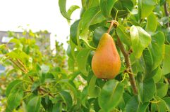 Sweet organic pear Stock Photo