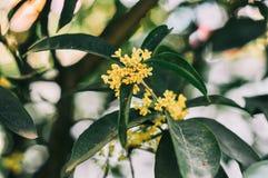 Sweet osmanthus fragrans stock image