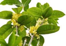 Sweet Osmanthus flower Royalty Free Stock Photo