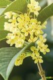 Sweet Osmanthus Flowers Royalty Free Stock Image
