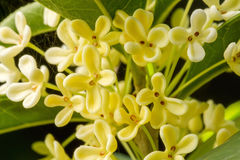 Sweet Osmanthus Flowers Royalty Free Stock Photography