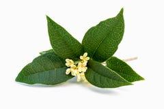Sweet osmanthus flowers Stock Photography