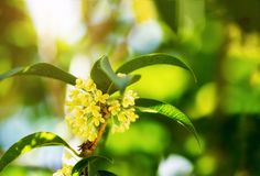Sweet osmanthus flowers. Group of Sweet osmanthus or Sweet olive flowers blossom on its tree Stock Photos
