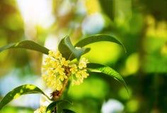 Sweet osmanthus flowers Stock Photos