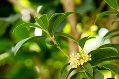 Sweet osmanthus flowers Royalty Free Stock Photo