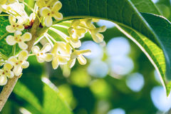 Sweet osmanthus flowers. Group of white Sweet osmanthus or Sweet olive flowers blossom on its tree Royalty Free Stock Images
