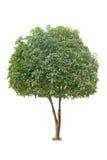 Sweet osmanthus tree royalty free stock image