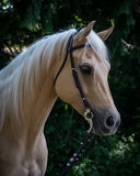 Sweet Palomino Mare. A pretty golden Palomino Quarter Horse mare Royalty Free Stock Image