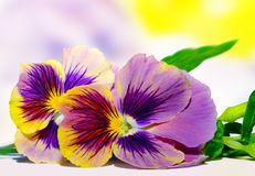 Sweet pansies. Two sweet pansies on a colorful background Stock Images