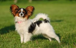 Sweet papillon puppy. Papillon puppy on the grass field Stock Image