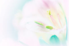 Sweet pastel color petal lily in soft color and blur style for b Stock Photo
