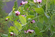 Sweet Pea Royalty Free Stock Photo