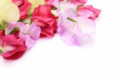 Sweet pea. I took a sweet pea in a white background Stock Photography