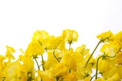 Sweet pea. Yellow sweet pea on white background Royalty Free Stock Photos