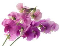 Sweet pea. Pink, beautiful sweet pea isolated on white background (soft focus Stock Photo