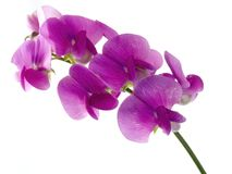 Sweet pea. Pink, beautiful sweet pea isolated on white background (soft focus royalty free stock photos