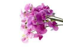 Sweet pea. Pink, beautiful sweet pea isolated on white background (soft focus Stock Photography